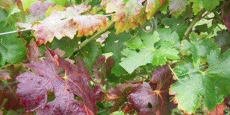 Les plantes « sauvages » : des réservoirs potentiels du flavescence dorée sous surveillance | Le Vin et + encore | Scoop.it
