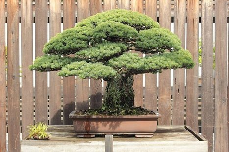 The 388-Year-Old Bonsai that Survived Hiroshima | Virtues | Scoop.it