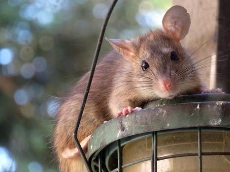 Amphetamine Helped Brain Damaged Rats Regain Function | California Brain Injury Attorney News | Scoop.it