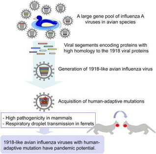 Circulating Avian Influenza Viruses Closely Related to the 1918 Virus Have Pandemic Potential: Cell Host & Microbe | Influenza | Scoop.it