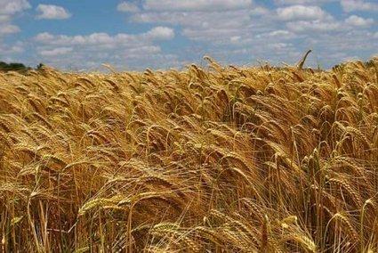 Quand les paysans pourront-ils à nouveau semer leurs propres semences? | Questions de développement ... | Scoop.it