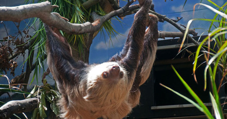 Two-toed Sloth, Sloth Facts, Sloth Information | Journey To The Jungle | Forest uniqueness's | Scoop.it