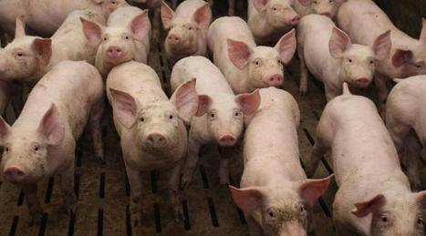 Porc. Le cours repasse au-dessus du prix symbolique de 1,40 euros/kg - Ouest France | Le Fil @gricole | Scoop.it