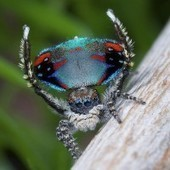 New Species of Peacock Spider Dances for You (And Sex) - Wired Science | Atotsm (A Taste of the Social Media) | Scoop.it