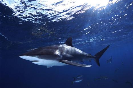 Best Diving in Cuba | SCUBA Travel | Requins | Scoop.it