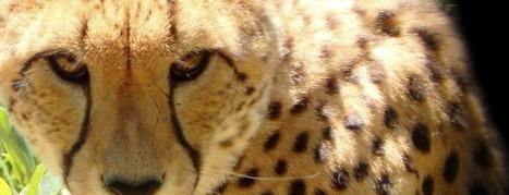 Human Wildlife Conflict: Protecting the Cheetah | Human-Wildlife Conflict: Who Has the Right of Way? | Scoop.it