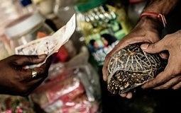 Fading stars: India's illegal tortoise trade - in pictures | Ethics? Rules? Cheating? | Scoop.it