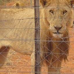 #ShockWildlifeTruths: SA's 2 000 wild lions vs its 7 000 canned lions - who is more at risk? | Wildlife News | Scoop.it