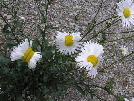 Deformed mutant daisies photographed near Fukushima nuclear disaster site in Japan | Outbreaks of Futurity | Scoop.it