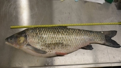 Asian carp have reproduced in Great Lakes watershed | Conservation + BioEconomy | Scoop.it