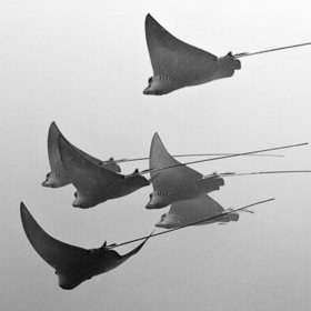 School of Spotted Eagle Rays | Belize in Social Media | Scoop.it
