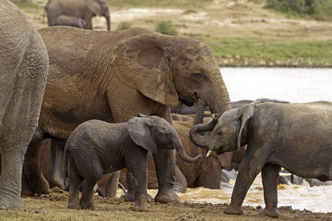 Poachers Poison Watering Holes—African Elephants In Danger of Extinction! - Global Animal | Elephant Poaching in Africa | Scoop.it