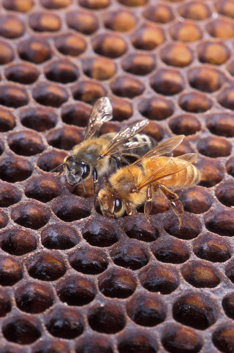 Honey bee royal jelly China scam ends in home detention, probation - MyNewsLA.com | Ethics? Rules? Cheating? | Scoop.it