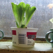 Regrow Fresh Heads of Romaine Lettuce from Chopped Down Lettuce Hearts | Vertical Farm - Food Factory | Scoop.it
