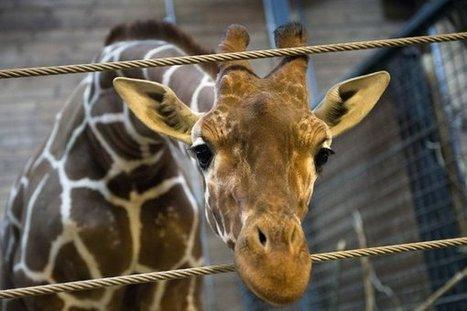 Comme Marius le girafon, entre 3.000 et 5.000 animaux sont euthanasiés chaque année | Nature Animals humankind | Scoop.it