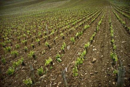TV5MONDE : actualites : Gastronomie: au chevet des cépages oubliés   Vins nature, Vin de plaisir   Scoop.it