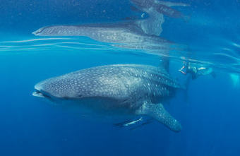 First estimate of whale shark population in the Gulf - News - Nature Middle East | Arabian Peninsula | Scoop.it