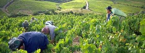 France Looking Forward to Bigger and Better Wine Harvest - Wine-Searcher | Beaujolais | Scoop.it