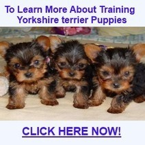 How to stop your Yorkshire terrier's biting, barking and aggression | 1 | Scoop.it