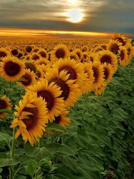 Atardecer sobre un campo de girasoles | Reflejos | Scoop.it