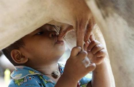 Sevré brutalement, un enfant de 18 mois se nourrit directement au pis d'une vache   éducation des enfants   Scoop.it