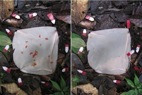 Ants plant rainforests, one seed at a time | Rainforest EXPLORER:  News & Notes | Scoop.it