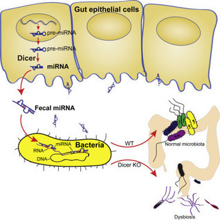 The Host Shapes the Gut Microbiota via Fecal MicroRNA: Cell Host & Microbe | my universe | Scoop.it