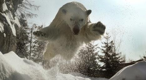 Cinq espèces que vous pensiez en voie de disparition, mais en fait non (dont l'ours polaire)   Slate   Biodiversité & Relations Homme - Nature - Environnement : Un Scoop.it du Muséum de Toulouse   Scoop.it