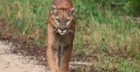 US Government: Give Panthers Room To Roam! | Animals - fact and fiction | Scoop.it