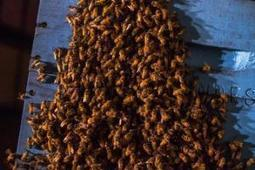 U.S. EPA proposing temporary pesticide-free zones for honeybees | Sustain Our Earth | Scoop.it