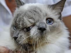 Rare two-faced cat lives 12 years, sets record | Cats Rule the World | Scoop.it