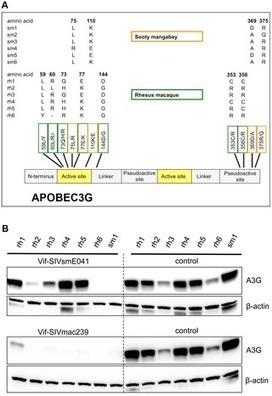 PLOS Pathogens: APOBEC3G Polymorphism as a Selective Barrier to Cross-Species Transmission and Emergence of Pathogenic SIV and AIDS in a Primate Host | Virology and Bioinformatics from Virology.ca | Scoop.it