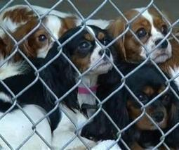 Beware: Westminster Dog Show Picks Will Also Become Puppy-Mill Favorites   Animals R Us   Scoop.it