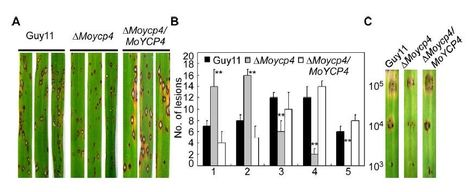 MoYcp4 is required for growth, conidiogenesis, and pathogenicity in Magnaporthe oryzae | Rice Blast | Scoop.it