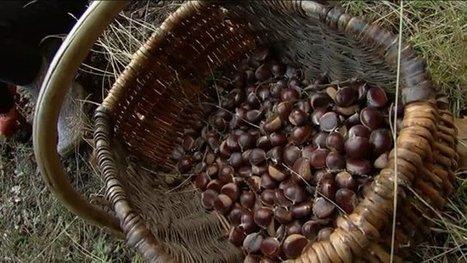 Récolte de châtaignes en Lozère : le cru 2016 est bon - France 3 Languedoc-Roussillon | Made In Sud de France | Scoop.it