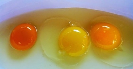 Can You Guess Which Of These Egg Yolks Is Actually From A HEALTHY Chicken? | dietconseil actualite dietetique nutrition évolution | Scoop.it