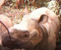 More Rhino Cams Come to Indonesia (Video) : DNews | Rhino Poaching South Africa  & Accross the Globe | Scoop.it
