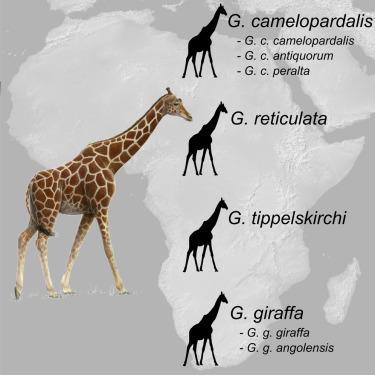 Girafe(s!) | C@fé des Sciences | Scoop.it