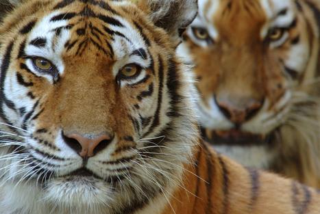 Amur Tiger   Species   WWF   Year 7 Science: Endangered Species – Tigers across Asia   Scoop.it