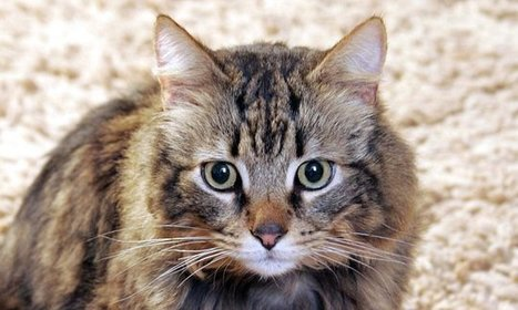 Call for cat owners to follow the lead of dogs and microchip their pet   Cats Rule the World   Scoop.it