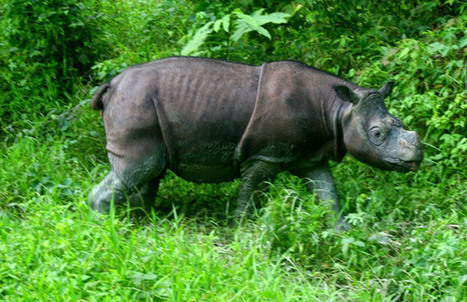 Sumatran Rhino Is Extinct in the Wild in Malaysia | Wildlife Trafficking: Who Does it? Allows it? | Scoop.it