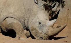 100 S. African rhinos moving to Botswana to escape poachers   Zoos should not exist   Scoop.it