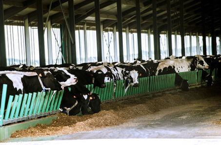La «ferme des mille vaches» dépasse le nombre d'animaux autorisés   Shabba's news   Scoop.it