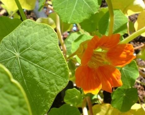 Flower Power | edible landscaping | Scoop.it