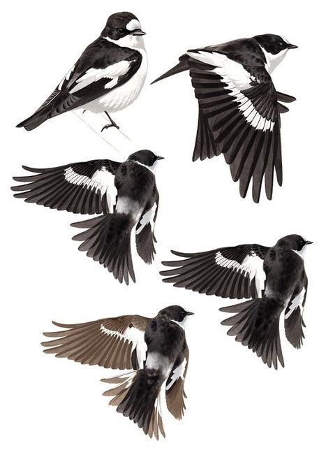 Atlas Flycatcher - variations   Bird ID   Scoop.it