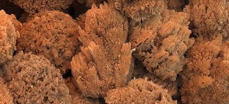 Les éponges de mer, premiers animaux sur Terre?   Biodiversité   Scoop.it