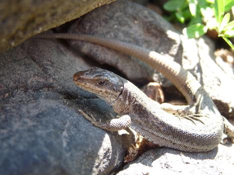 """Diaporama """"Reptiles et Amphibiens"""", le 14 avril à la Maison de la Nature d'Aulon.   Vallée d'Aure - Pyrénées   Scoop.it"""