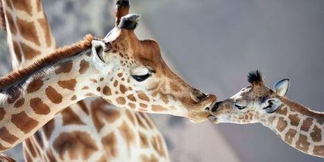 Découverte de quatre nouvelles espèces de girafe en Afrique | Chronique d'un pays où il ne se passe rien... ou presque ! | Scoop.it