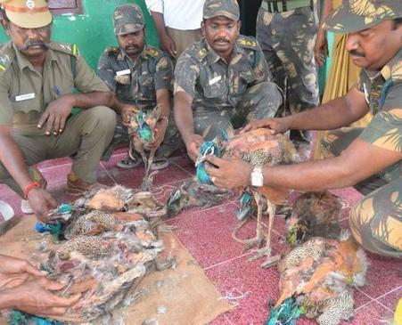 Poachers arrested for hunting peacocks in Ramanathapuram | Wildlife Trafficking: Who Does it? Allows it? | Scoop.it