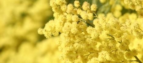 Qualche parola sulla mimosa - In giardino con Bakker | About gardening | Scoop.it
